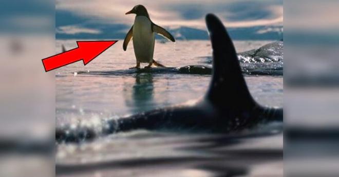 Косатки уже нагоняли несчастного пингвина, но он придумал, как спастись (Видео)