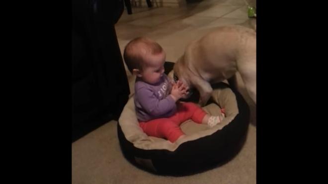 Малыш занял спальное место мопса. Реакция собаки удивляет!