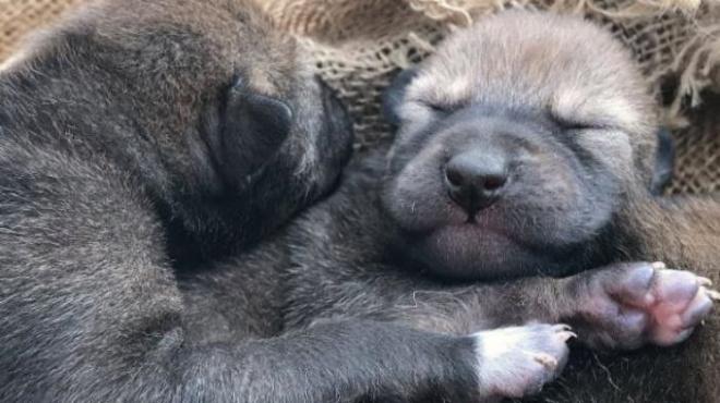В США родились щенки, которые стали событием мирового масштаба