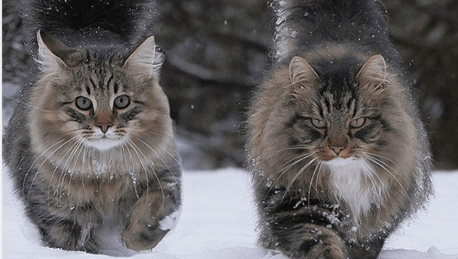 Финская блогерша поделилась фото своих неимоверно крутых северных котов!