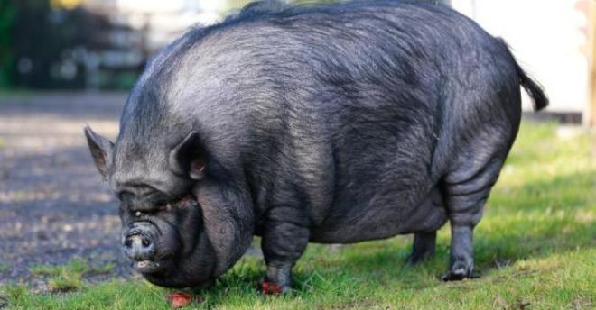 Пожарные спасли свинью весом 200 кг, которая жила в квартире у британки