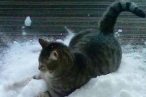 Кот, который обожает снег больше, чем валерьянку!