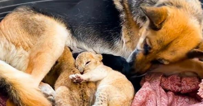 Собака, которая терпеть не может кошек, взялась выкармливать двух львят