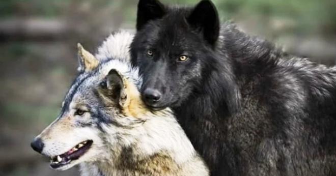 Волки сами пришли к ветврачу за помощью: волчица была беременной