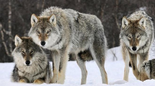 Волки нас перехитрили